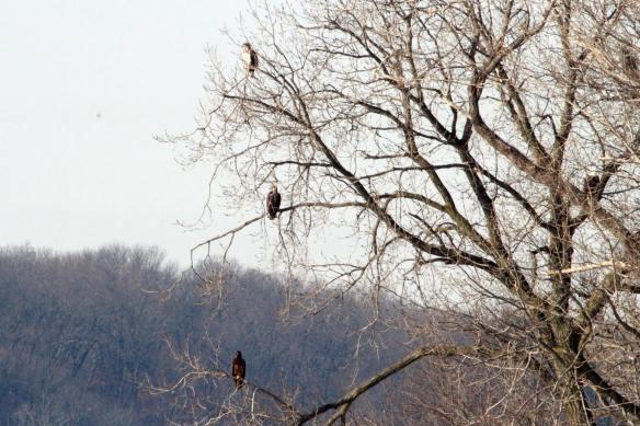 Bald Eagles, three plumages