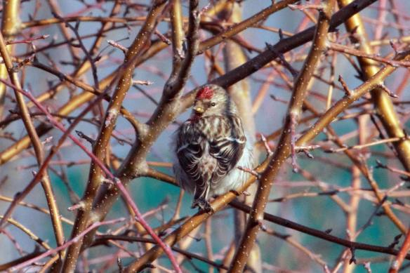 Male Common Redpoll IMG_2839_1