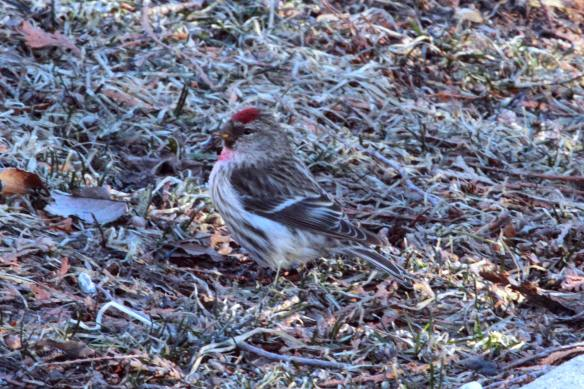 Male Common Redpoll IMG_2852_1
