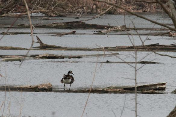Portage Goose IMG_3102_1
