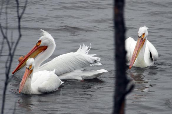 American White Pelicans IMG_7040_1