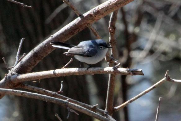 Blue-Gray Gnatcatcher IMG_5897_1