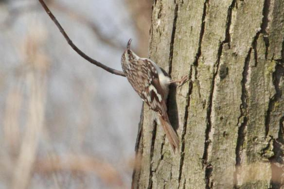 Brown Creeper, Chicago Portage