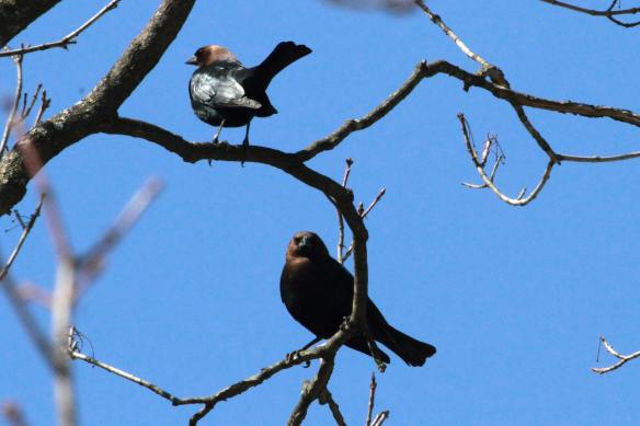 Brown-Headed Cowbirds, Little Red Schoolhouse