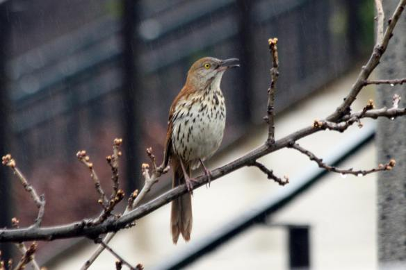 Brown Thrasher, Millennium Park, 4-24-13