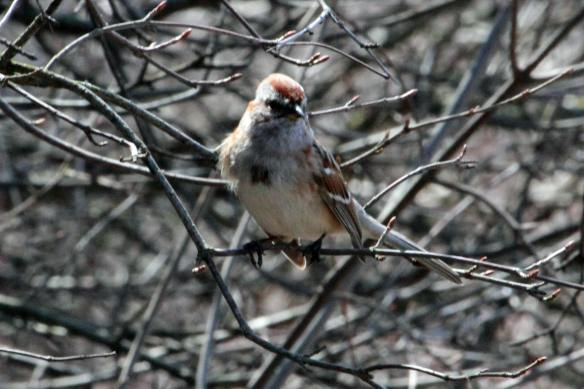 Chipping Sparrow McGinnis IMG_4687_1