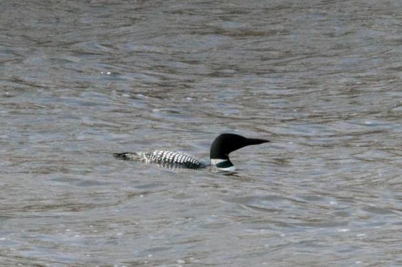 Common Loon, Saganashkee Slough