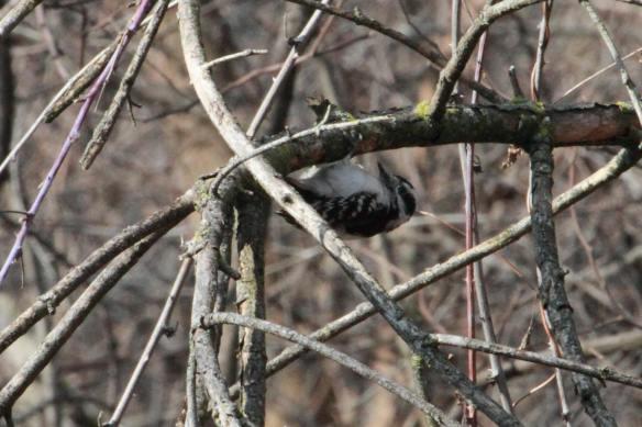 upside-down Downy Woodpecker