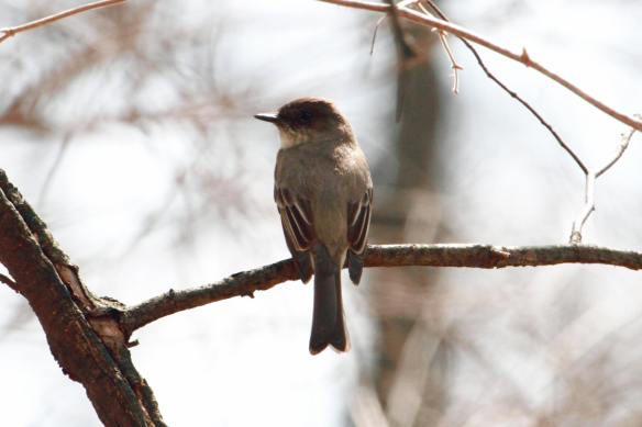 Eastern Phoebe Churchill Woods IMG2_3900_1