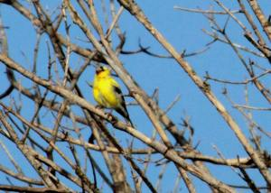 Goldfinch Portage IMG_4369_1