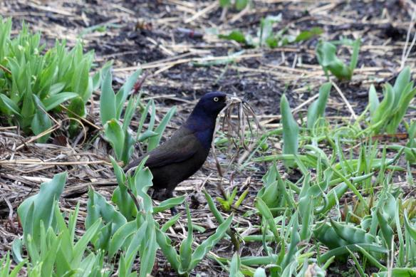 Common Grackle with nesting material