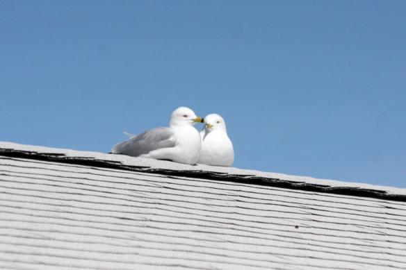 Gulls in Love