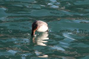 Horned Grebe Diving IMG_4134_1