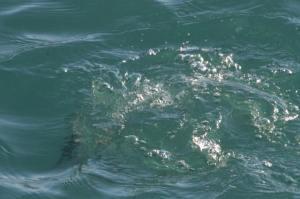 Horned Grebe Diving IMG_4136_1