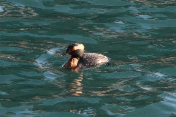 Horned Grebe Smiling IMG_4133_1