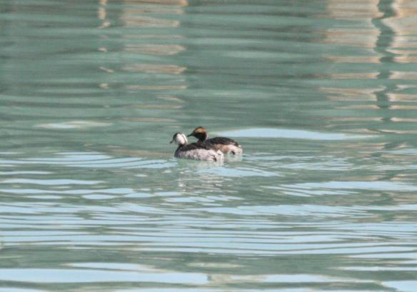 Horned Grebes Monroe Harbor IMG_3439_1