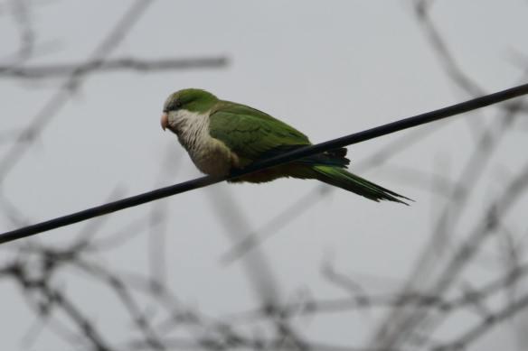 Monk Parakeet, DuPge County