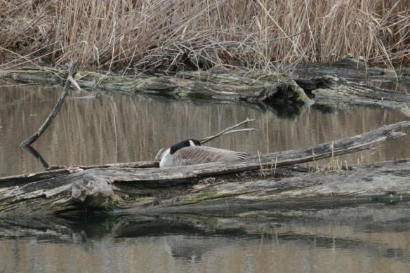 Canada Goose on nest