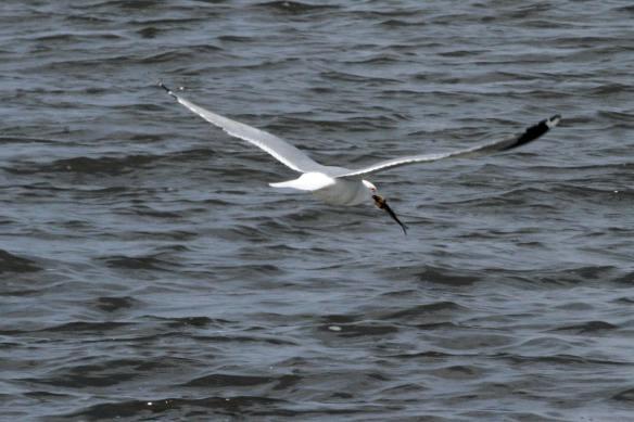 Ring-Billed Gull, Saganashkee Slough