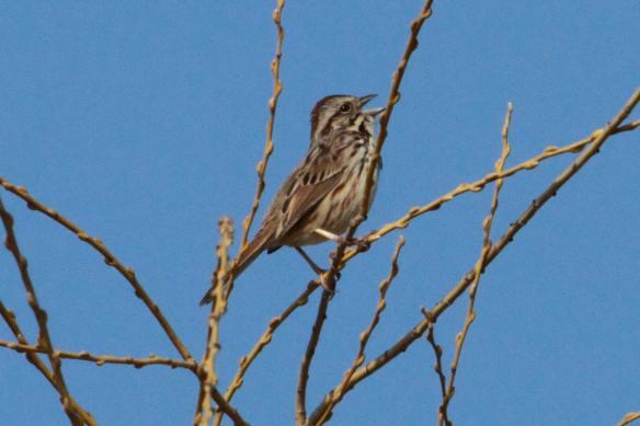 Song Sparrow, Tampier Lake