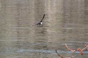 Tree Swallow IMG_5945_1