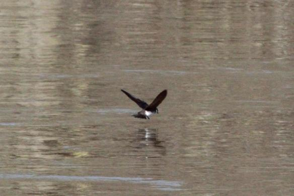 Tree Swallow IMG_5964_1