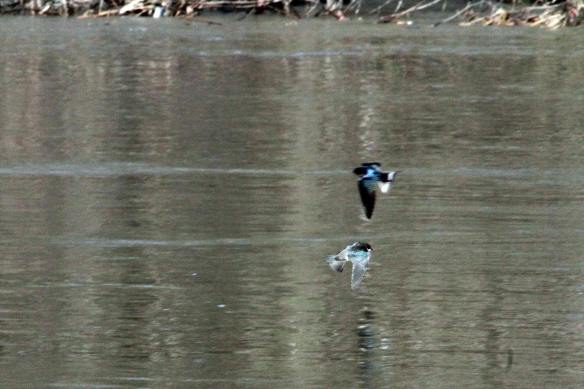 Tree Swallows IMG_5955_1