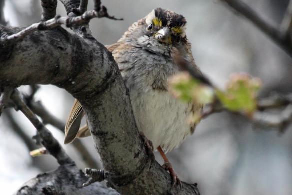 White-Throated Sparrow, Millennium Park, 4-24-13
