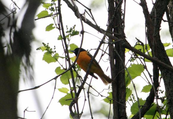 Baltimore Oriole - McLaughry Springs