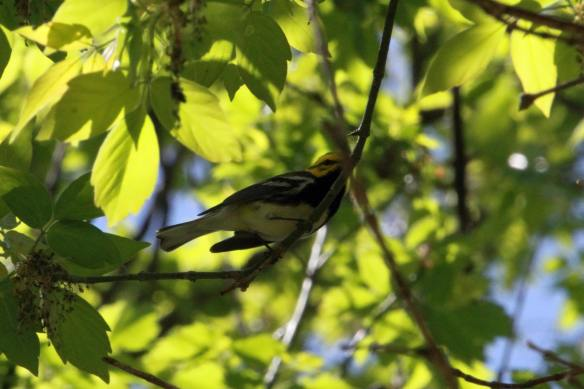 Black-Throated Green IMG_8927_1
