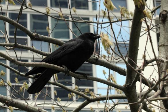 Crow IMG_5896_1