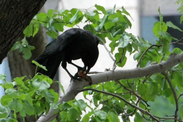 Crow with Bat