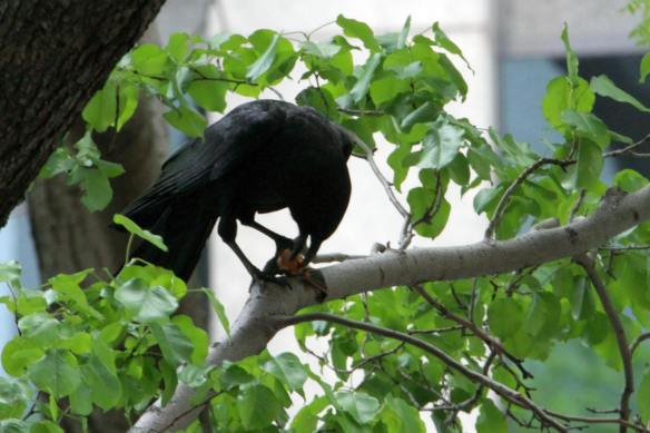 Crow with Bat