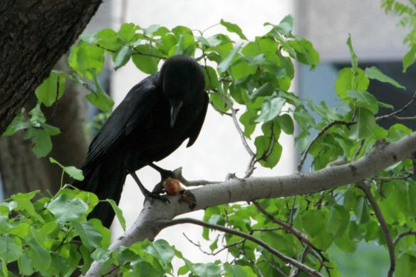 Crow with Bat IMG_2273_1