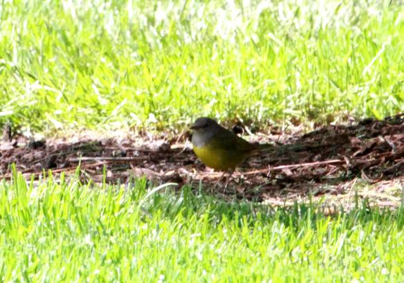 Female Mourning Warbler