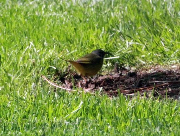 Female Mourning Warbler