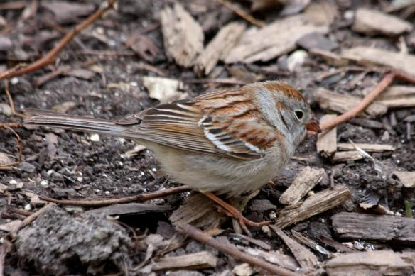 Field Sparrow Thompson Center IMG_5823_1