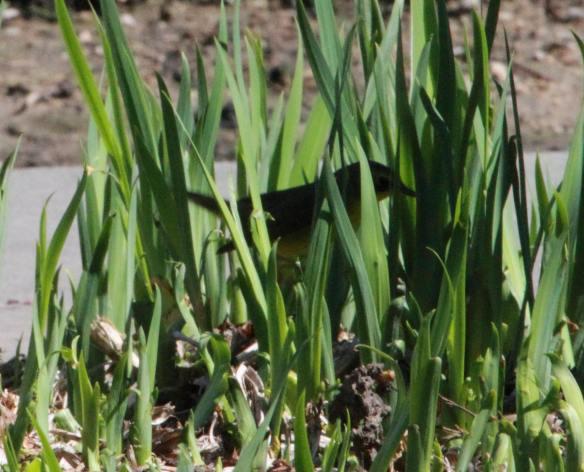 Kentucky Warbler IMG_7587_1