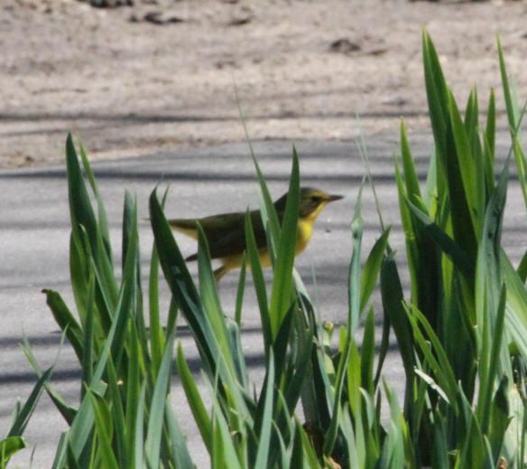 Kentucky Warbler IMG_7602_1