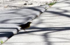 Kentucky Warbler IMG_7606_1
