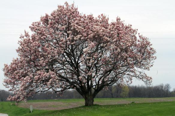 Magnolia IMG_6909_1