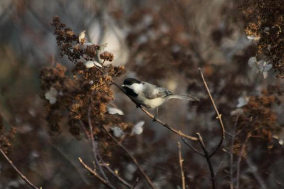 Black-Capped+Chickadee+Grant+Park+005_1