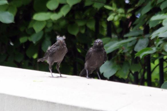 Grackle Fledges IMG_8289_1