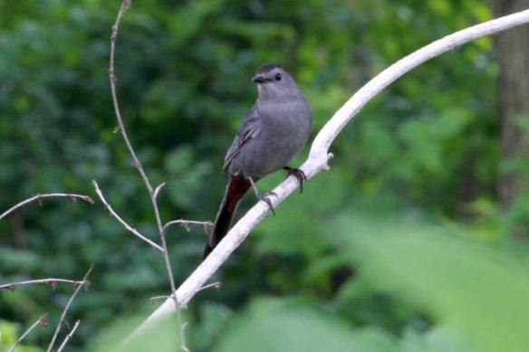 Gray Catbird IMG_2785_1