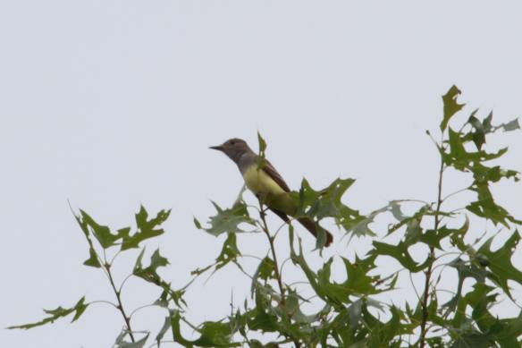 Great Crested Flycatcher IMG_3265_1