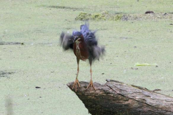 Green Heron Stretch IMG_2939_1