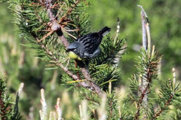 Kirtland's Warbler IMG_0502_1