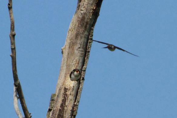 Tree Swallow nesr