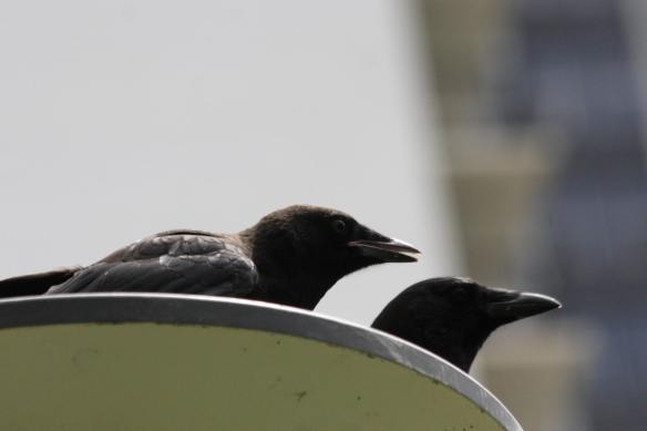 New and Old Crow IMG_8208_1