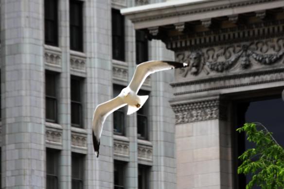 RB Gull Aerialist IMG_8310_1